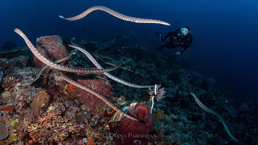 Indonesia Forgotten Islands sea snakes diana paboojian
