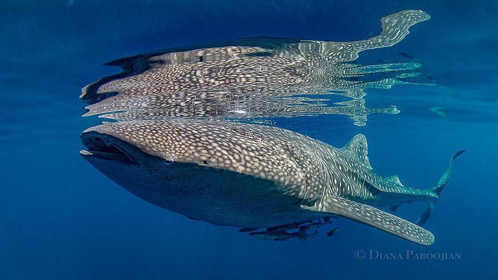 Whale shark in Cendrawasih Indonesia