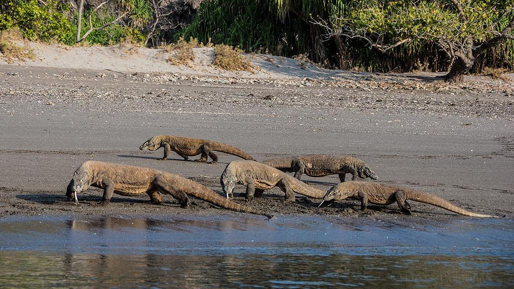 Komodo dragons photographed during liveaboard